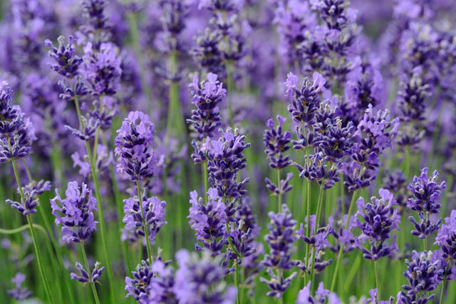 Lavender Essential Oil | My Pure Earth Essential Oils Singapore